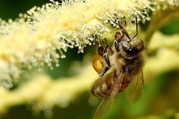 abeille chataignier